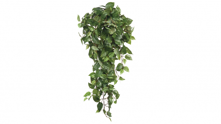 SCINDAPSUS-silkkikasvi
